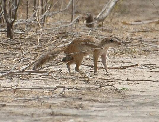 Picture of a striped ground squirrel (Xerus erythropus)