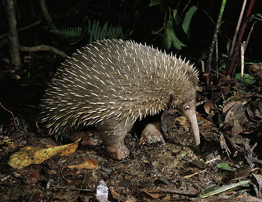 Picture of a western long-beaked echidna (Zaglossus bruijnii)