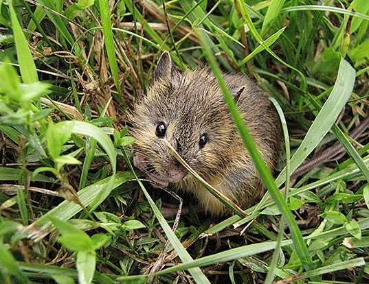 Picture of a meadow jumping mouse (Zapus hudsonius)