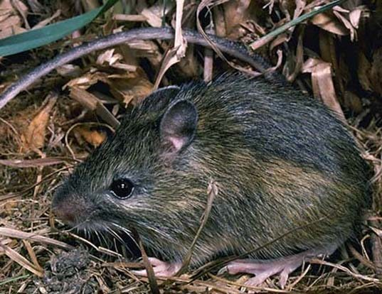 Picture of a pacific jumping mouse (Zapus princeps)