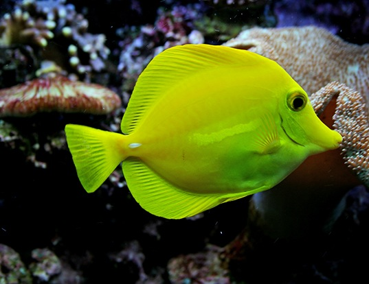 Picture of a yellow tang (Zebrasoma flavescens)