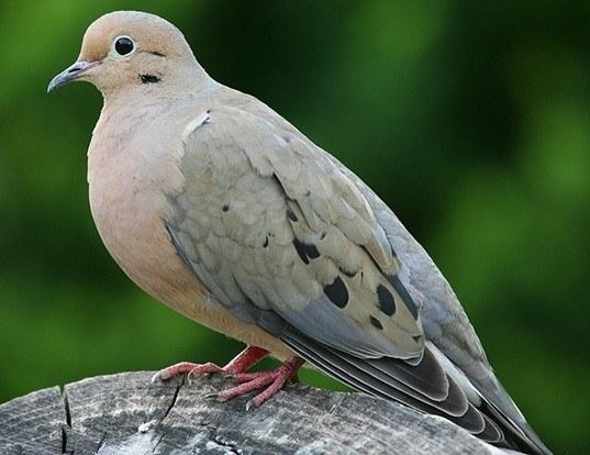 Picture of a mourning dove (Zenaida macroura)