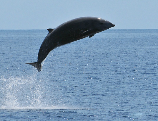 Picture of a cuvier's beaked whale (Ziphius cavirostris)