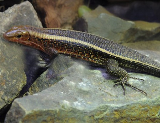Picture of a western girdled lizard (Zonosaurs laticaudatus)