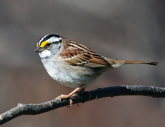 Picture of a white-throated sparrow (Zonotrichia albicollis)