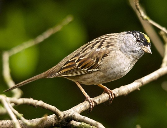 Picture of a golden-crowned sparrow (Zonotrichia atricapilla)