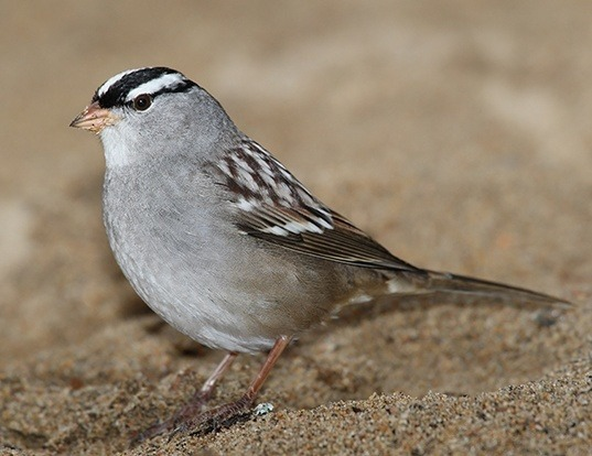 Picture of a white-crowned sparrow (Zonotrichia leucophrys)