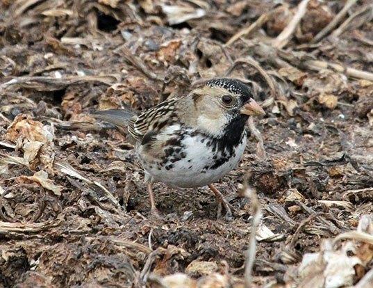 Picture of a harris' sparrow (Zonotrichia querula)