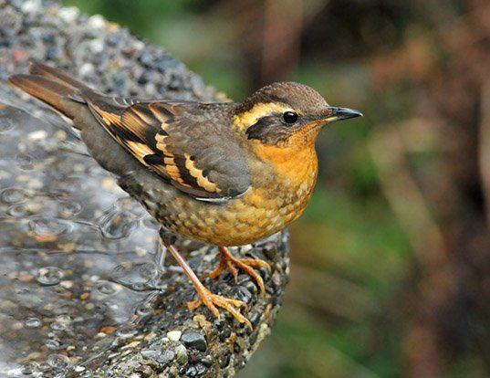 Picture of a varied thrush (Zoothera naevia)