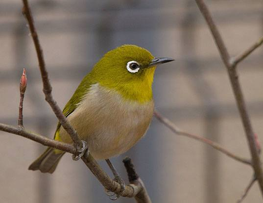 Picture of a japanese white-eye (Zosterops japonicus)