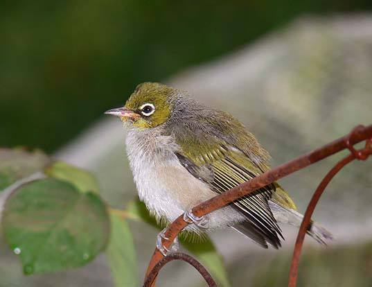 Picture of a silvereye (Zosterops lateralis)