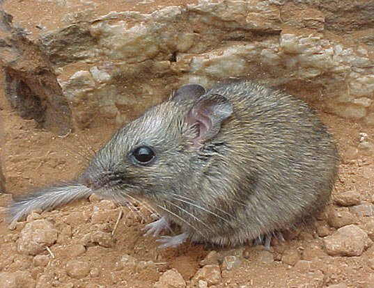 Picture of a central rock rat (Zyzomys pedunculatus)