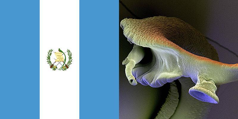 schistosomiasis guatemala tratamentul giardiei peste contrar uman